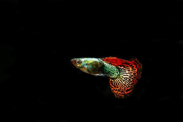 【熱帯魚】グッピーにおすすめの餌5選