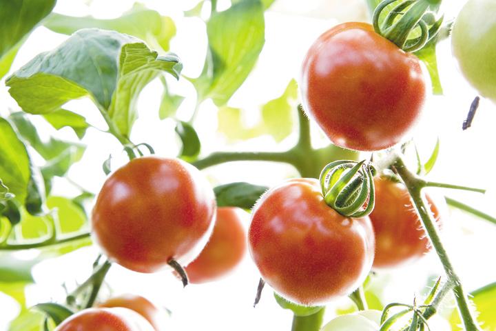 【越のルビー】フルーツのような甘みが絶品な福井産まれのトマト