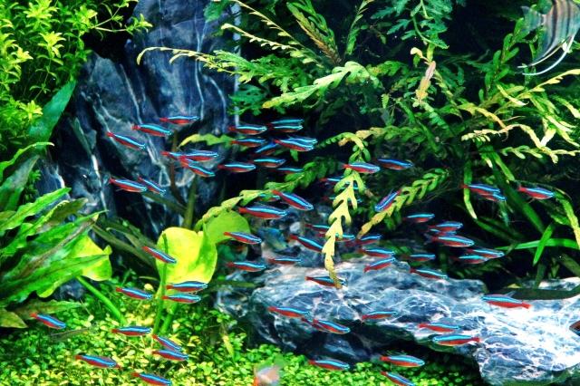 ネオンテトラの群泳