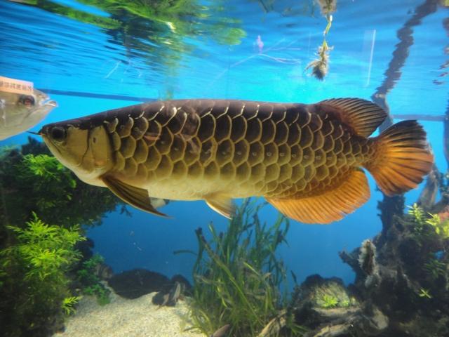 アクリル水槽 大型魚