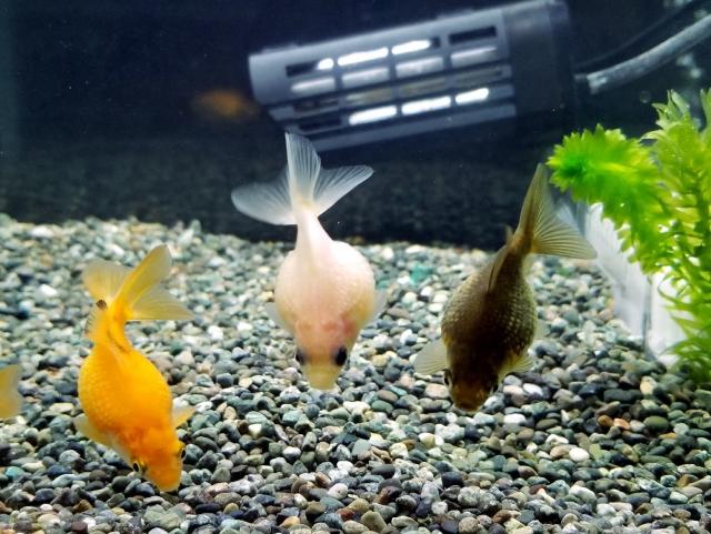金魚と大磯砂