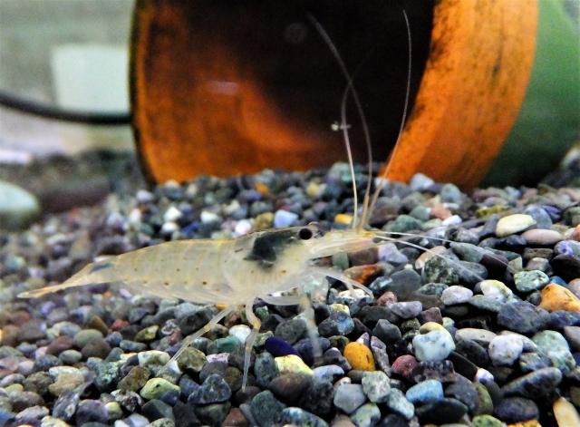 大磯砂とヤマトヌマエビ