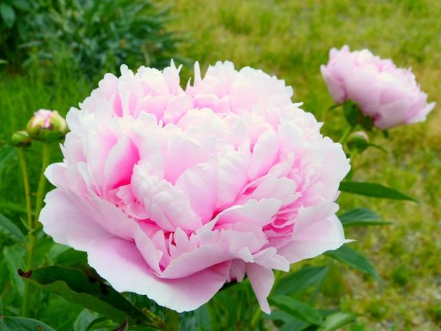 シャクヤクの花